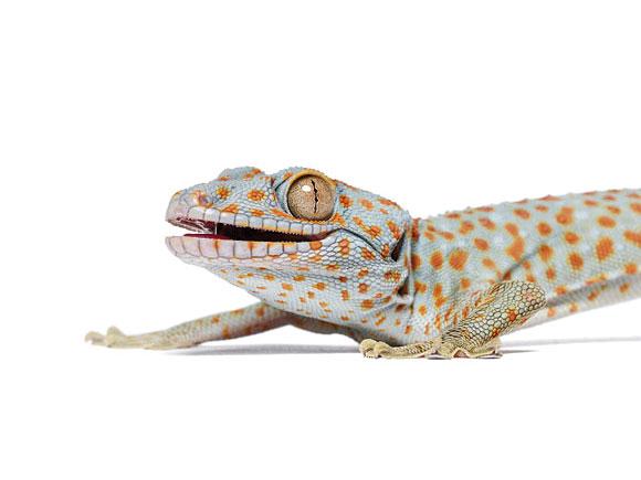 gecko1_f1.jpg